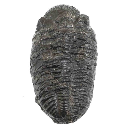Gros Trilobite Phacops Fossile 641 Grammes 750